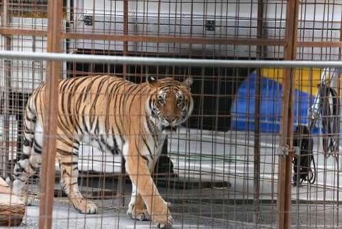 De mest almindelige sygdomme hos vilde katte i fangenskab