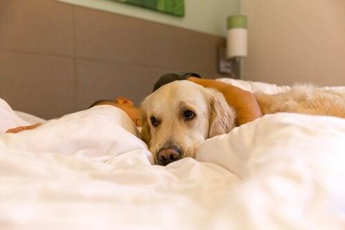 Hund, der ligger med ejer i seng