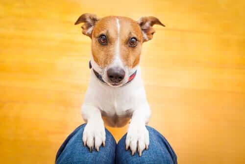 Trænet hund står med poter på ejers knæ