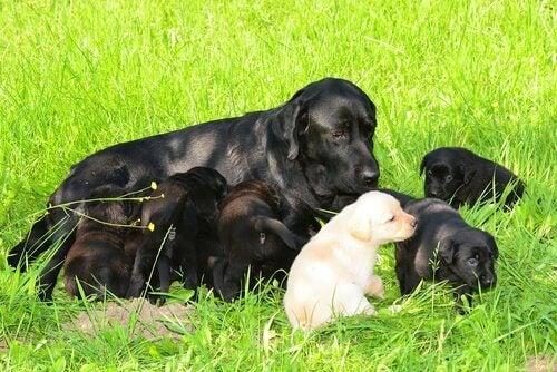 hund og hvalpe på græs