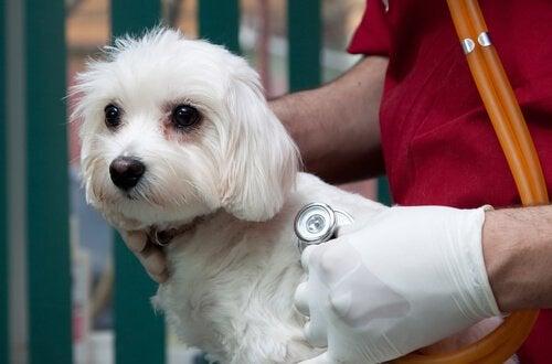 Hund til dyrlæge