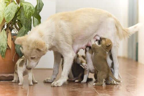 Hvalpe spiser hos deres mor