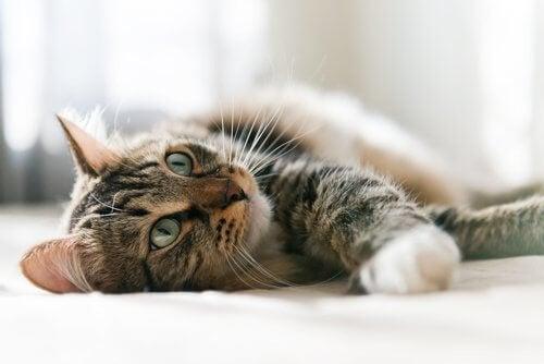 Kat, der ligger på siden