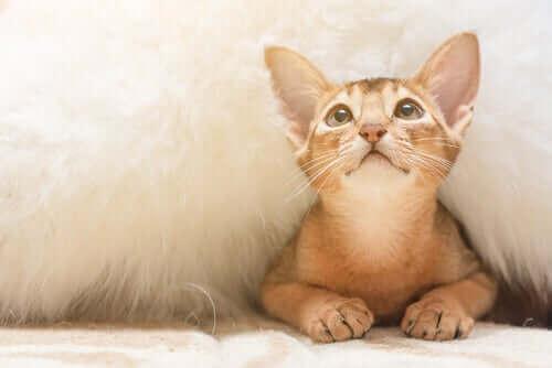 Kat gemmer sig under et tæppe