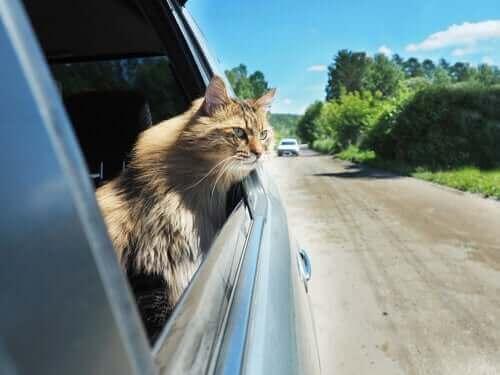 Nogle katte kan lide af køresyge, når de rejser lange afstande