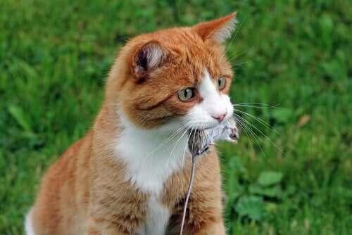 Katte falder ind under kategorien af udelukkende kødædende dyr, hvorfor kat ses med mus i munden