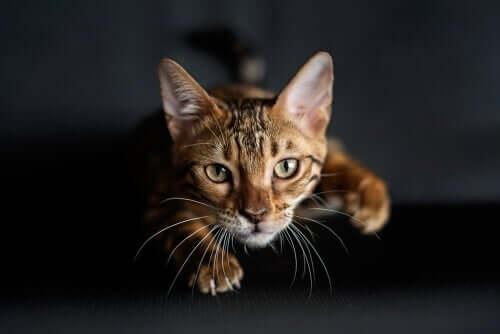En kat på jagt som eksempel på at underholde kæledyr under lockdown