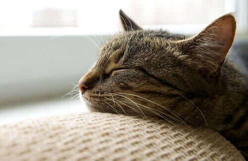 Mange katteejere har mistanke om, at deres kæledyr går i dvale om vinteren, fordi de observerer at de oftere sover