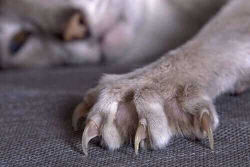 Nærbillede af en kats kløer