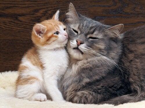 Katte sammen er symbol for vacciner af kæledyr