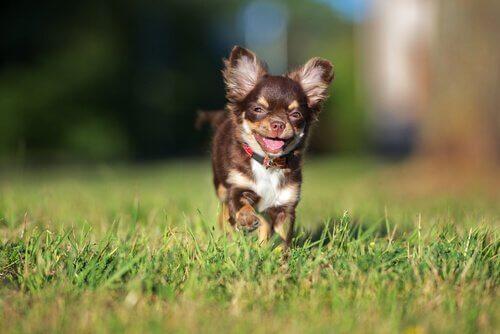 lille hund på græsplæne