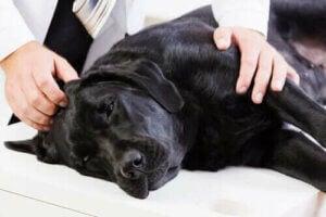 Hvad er en forstørret milt hos hunde?