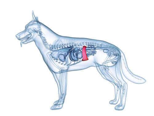 Illustration af miltens placering i hunden