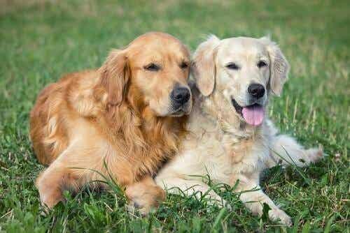 Fordele og ulemper ved at parre en hund
