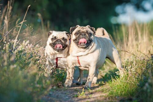 To hunde rækker tunge