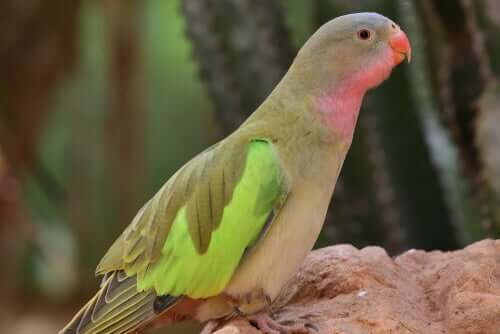 Prinsesse papegøjen