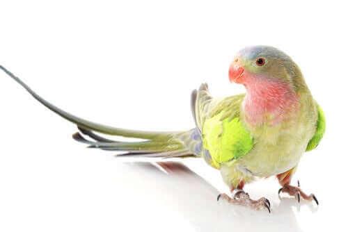 Hvor fik prinsesse papegøjen sit navn fra?