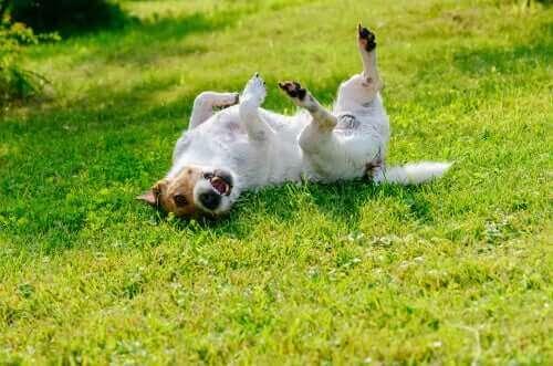 Hund ligger på ryggen med alle fire ben i vejret