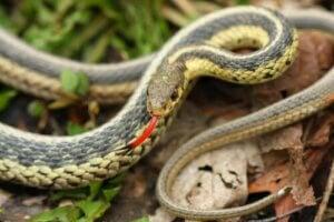 Slangen bruges sin tunge til at finde bytte