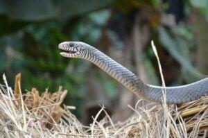 Slange i tørt hø