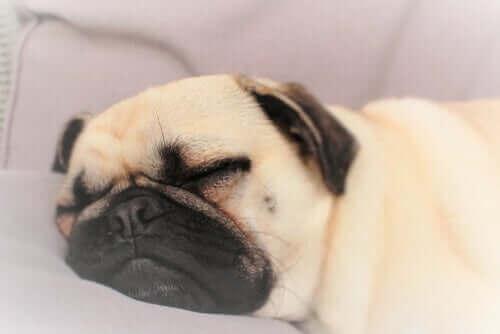 En hund sover trygt