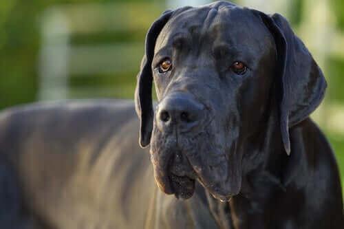 Hvorfor lever gigantiske hunderacer kortere tid?
