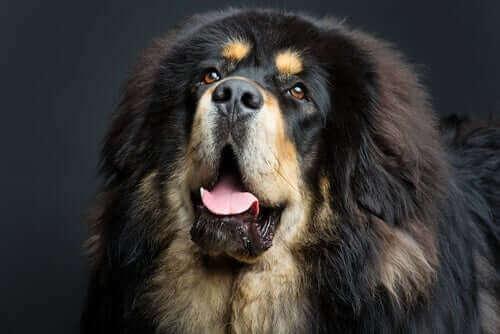 Gigantiske hundracer: Den tibetanske mastiff hunderace