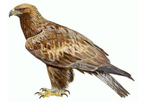 Kongeørnen, hvis videnskabelige navn er Aquila chrysaetos, er uden tvivl en af de mest ekstraordinære fugle, der flyver henover den spanske himmel