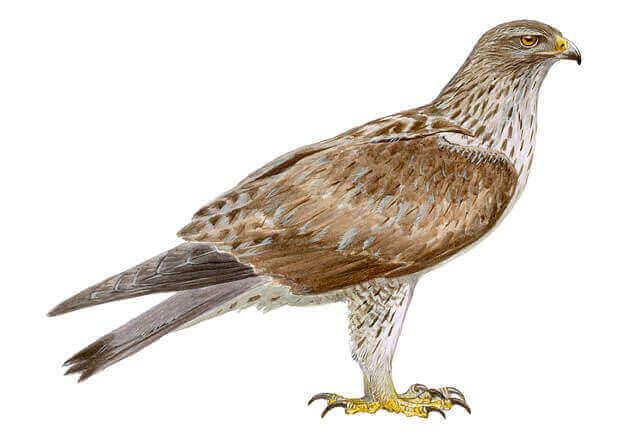 Høgeørnen er en stillesiddende rovfugl, der placerer sin rede i bjergagtige regioner med lav højde