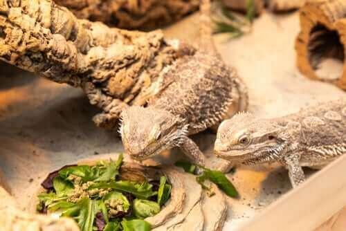 To gekkoer - et af de kæledyr, der lever længst