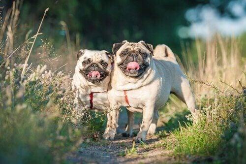 to hunde udenfor