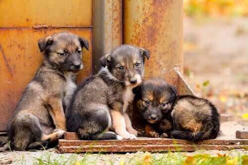 Tre unge hvalpe, der kan være den rigtige alder til at kastrere eller sterilisere en hund