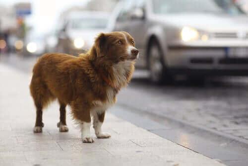 Hvad gør du hvis dit kæledyr bliver stjålet?
