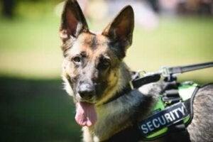 Politihunde: Træning, tjeneste og pension
