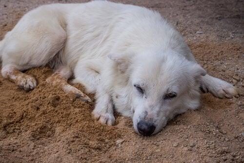 Hund ligger sløvt på jorden