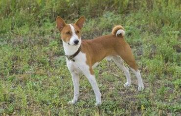 Mød basenji: En hund, der ikke gør