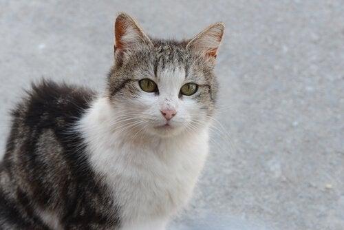 Bughindebetændelse hos katte kan være fatalt