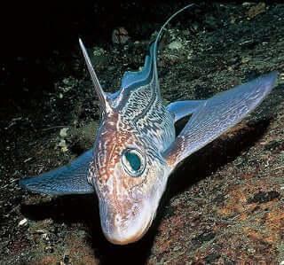 Mærkelige fisk: Dybhavs chimera