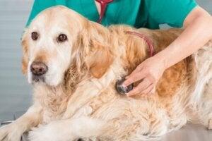 Hvad skal jeg gøre, hvis min hund er ude for en ulykke?