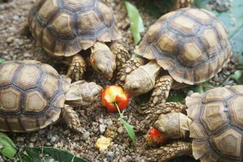 Fire skildpadder spiser et æble