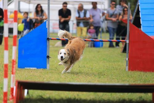 Ejer træner en hund ved hjælp af agility
