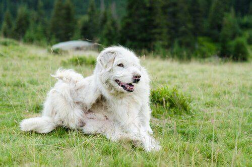De mest almindelige parasitter hos hunde