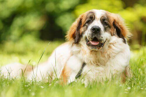 Hund, der ligger i græs