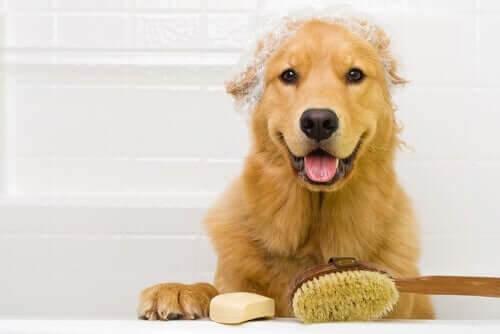 Skal hunde bades oftere under corona-krisen?