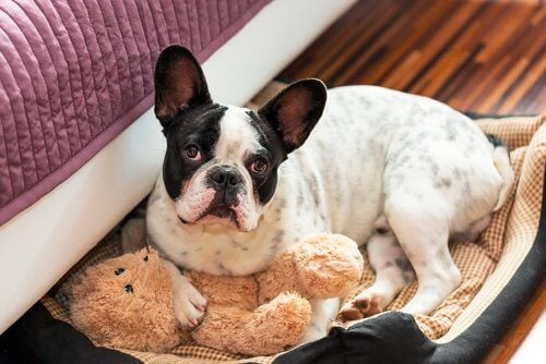 En hund med bamse i seng viser, hvordan nogle hunde urinerer i sengen