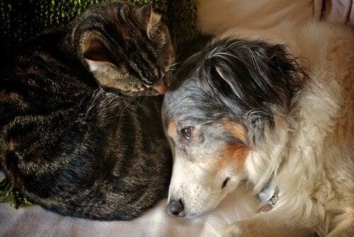 Brandsår på katte eller hunde heles i 3 trin