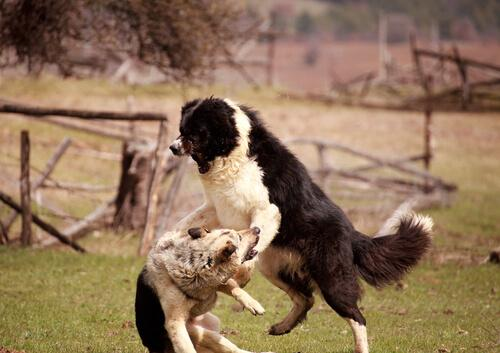 To hunde slåes