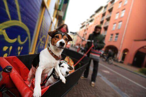 Hunde på tur i by, selvom forurening er skadeligt for hunde i byerne