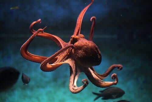Blæksprutte svømmer blandt fisk
