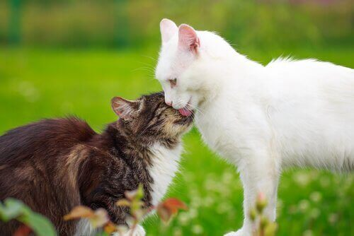 Hvad sker der, når en kat er i brunst?